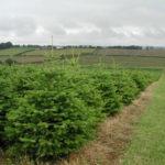 Выращивание новогодних елок, как вариант сезонного бизнеса