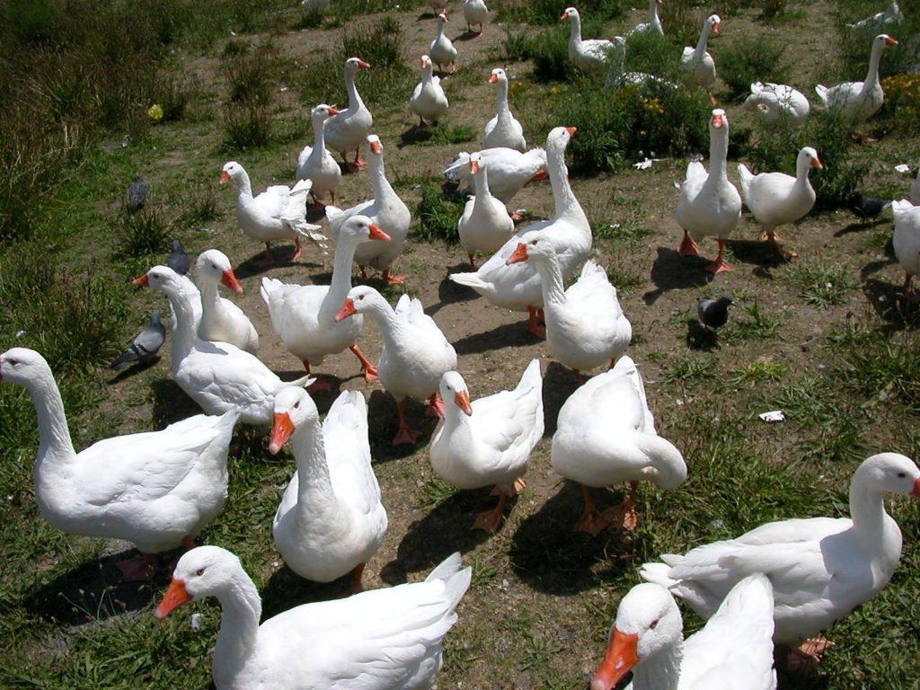 Башкирские гуси выращивание 29